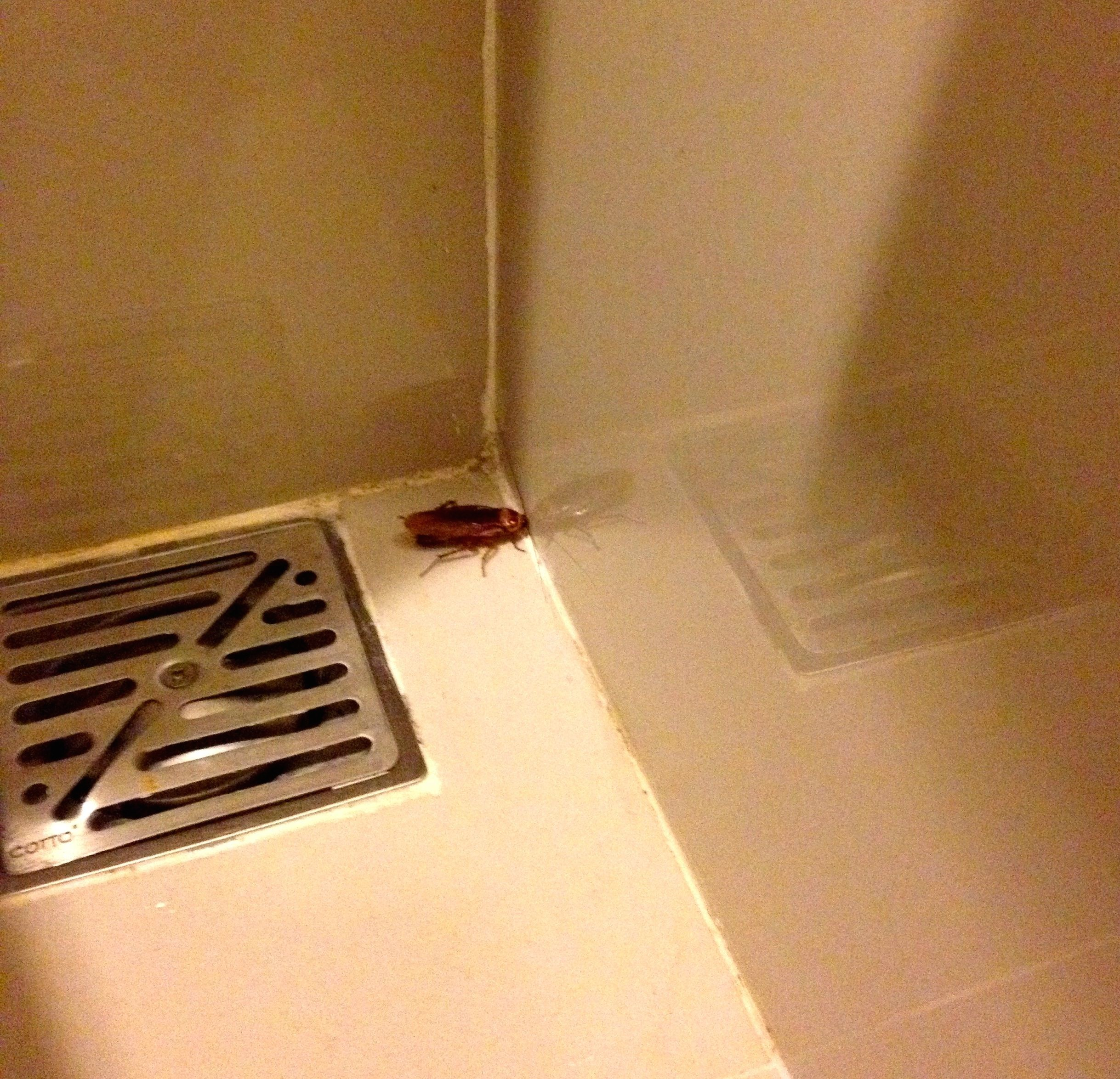 Cockroaches Travel In Packs - Cockroach in bathroom