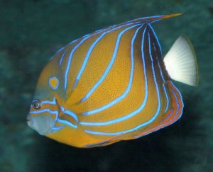 The Beautiful Blue Ringed Angelfish