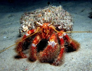 Red Hairy Hermit Crab - we saw a bunch of these bad boys on our night dive!