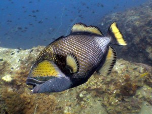 Triggerfish - in Koh Tao, these are everywhere!