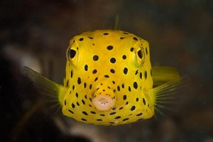 Yellow Boxfish - can you guess why it's called a Boxfish?!