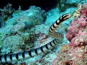 The Poisonous Banded Sea Snake
