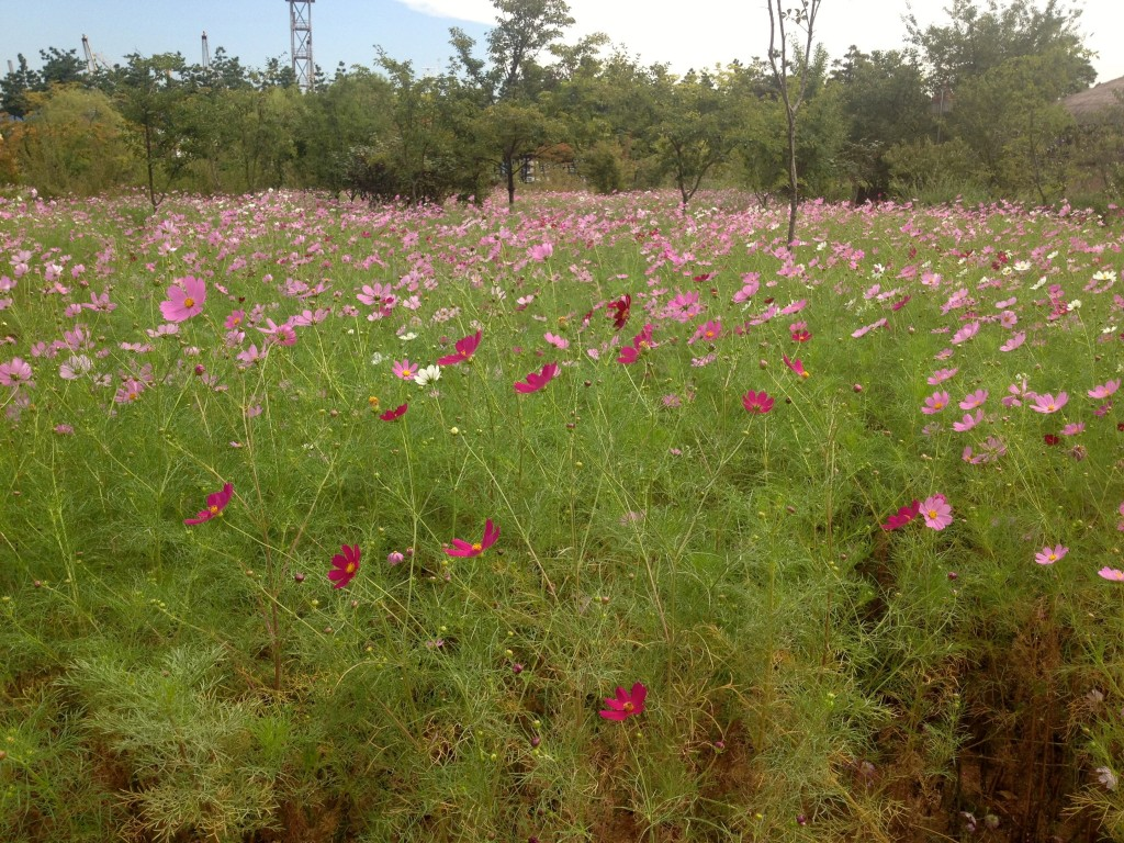 There were beautiful cosmos fields.