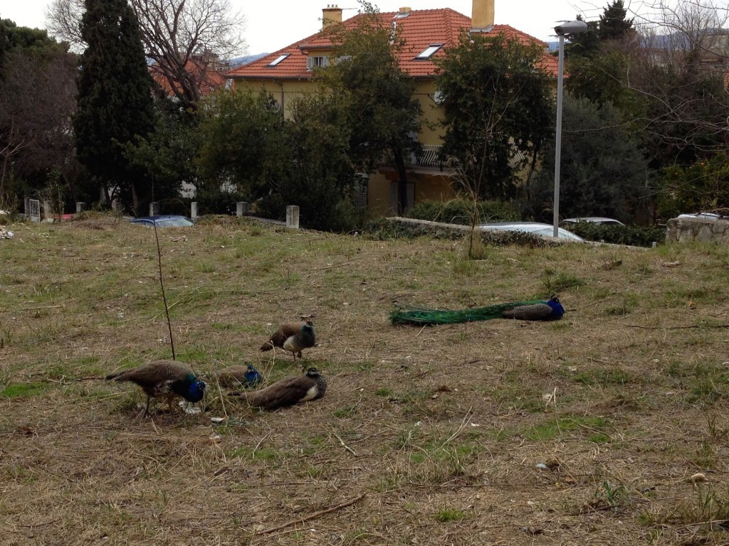 There are about 2 dozen peacocks living in our neighborhood in Split!