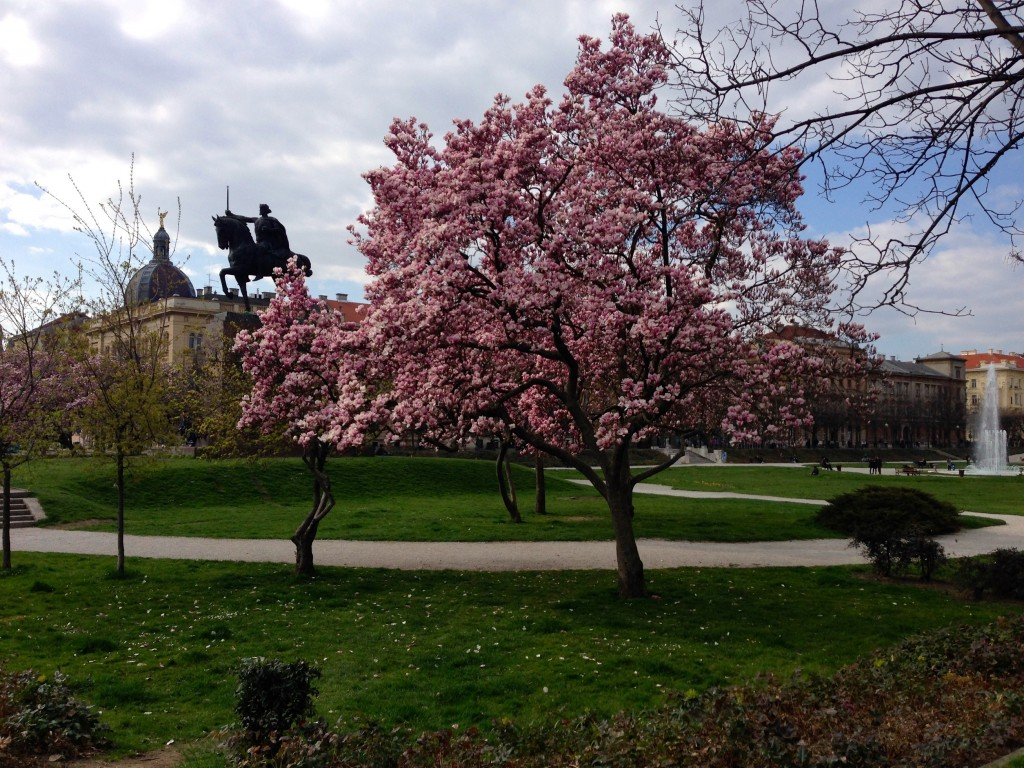 Beautiful Magnolia trees in Zagreb.